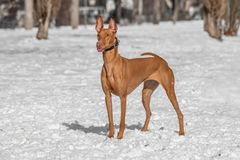 Close-up view of Typical Pharaoh hound dog royalty free stock image