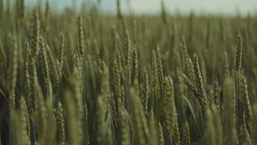 Close up view of unripe green ears of golden wheat moving under the light wind. Beauty of nature, spring time. Pure. Nature, agriculture. Beautiful scenery stock footage