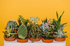 Close-up view of various beautiful green succulents in pots. Isolated on yellow Stock Photos