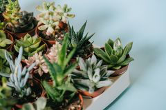 Close-up view of various beautiful green succulents in pots. On grey Royalty Free Stock Photos