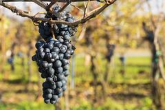 Close-up view of vine grapes in vintage autumn after harvest, ri. Pening on ice wine - on a sunny day Stock Photo
