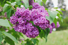 Close-up view of violet lilac flower. Inflorescence in sunny spring day stock image