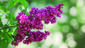 Close-up view of violet lilac flower inflorescence stock footage