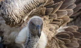 Close-up view of a vulture taking a bath. Close-up view of a White-backed vulture (Gyps africanus) taking a bath Stock Image