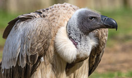 Close-up view of a vulture. Close-up view of a White-backed vulture (Gyps africanus Stock Photography