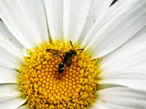 Wasp Mimic fly on a daisy. A close-up view of a wasp mimic fly eating pollen on a white daisy stock photography