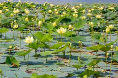 Close up view of Lotus flowers on Carter Lake Iowa royalty free stock image