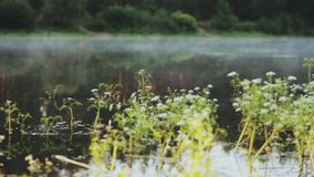 Close-up view of the water plants and fog floats over the water, lake. Beautiful morning landscape at the forest. stock footage