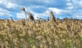 Close up view of wheat field against cloudy sky royalty free stock images