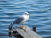 Close up view of white bird seagull sitting by the beach. Wild seagull with natural blue background stock images