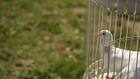 Close up view of white doves sitting in cage. Well trained birds are sitting in same colored forged metal decorative cage. There is wedding tradition to stock video