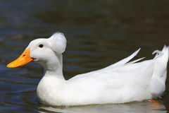 Duck Swimming. Close up view of a white duck swimming in a pond with a ball of feathers on its head Stock Photos