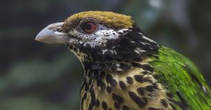 Close-up view of a White-eared catbird Royalty Free Stock Photography