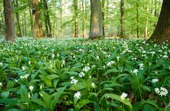 Close-up view of white flowers of bear garlic or ramson on meadow in forest with sunshine. spring day. Close-up view of white flowers of bear garlic or ramson on stock image