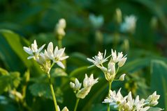 Close-up view of white flowers of bear garlic or ramson on meadow in forest with sunshine. spring day. Close-up view of white flowers of bear garlic or ramson on royalty free stock image