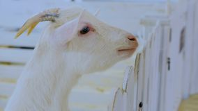 Close up view of white goat head. Contact zoo Stock Photography