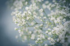 Close up view of white gypsophila Stock Image
