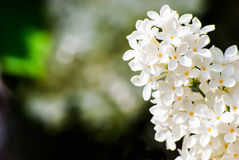 Close up view of white lilac flower. White lilac in green leaves, outdoors, macro Stock Image