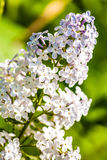 Close up view of white lilac flower. White lilac in green leaves, outdoors, macro stock images