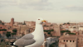 Close-up view of white little seagull looking around. Against the background of the old city roofs. Bird sitting on the top of the city, architectural stock video