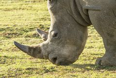 Close-up view of a white Rhno head and horns. Closeup view of a white Rhino head and horns in the late afternoon sunlight Royalty Free Stock Images