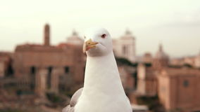 Close-up view of white seagull sitting on the roof. Little bird raises one paw and a wing. Old city on the background. The bird looks around and in the camera stock video