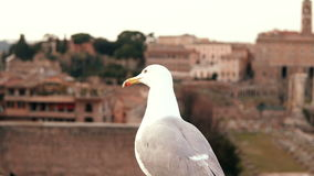 Close-up view of white seagull sitting on roof top and looking around. Bird fly away against the background of old city. Animal sitting on the top of the city stock footage