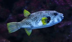Close-up view of a White-spotted puffer Royalty Free Stock Photos