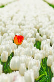 Close-up view of white tulips and orange one Stock Photos