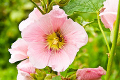 Close up view of the working bee on a pink hollyhock flower. Stock Photo