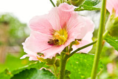 Close up view of the working bee on a pink hollyhock flower. Stock Photos