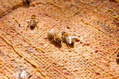 Close up view of the working bees. Royalty Free Stock Photo