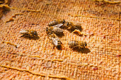 Close up view of the working bees. Royalty Free Stock Photography