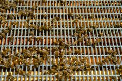 Working bees on honey cells royalty free stock image