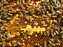 Close up view of the working bees. On honey cells Stock Image