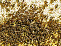 Close up view of the working bees. On honey cells Stock Images