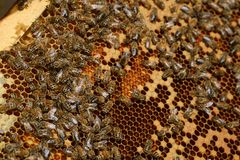 Working bees on honey cells royalty free stock images
