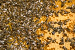 Working bees on honey cells royalty free stock photos