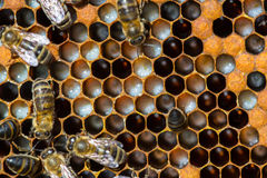 Close up view of the working bees on honeycells. Royalty Free Stock Image