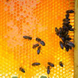Close up view of the working bees on honeycells. Royalty Free Stock Images