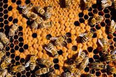 Close up view of the working bees on honeycomb. Royalty Free Stock Photography
