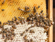 Close up view of the working bees on honeycomb Stock Images