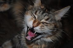 Yawning Maine Coon Cat Royalty Free Stock Photography