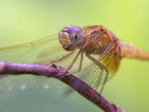 Close up view Yellow dragonfly stock photo