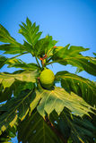 Close up view of young green breadfruit (Artocarpus altilis) fru. It on tree with green leaves. Bread fruit tree originated in the South Pacific and was Royalty Free Stock Image
