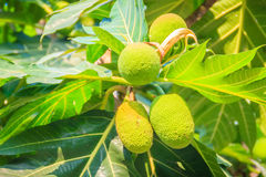Close up view of young green breadfruit (Artocarpus altilis) fru. It on tree with green leaves. Bread fruit tree originated in the South Pacific and was Stock Photos