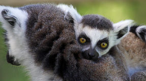 Close-up view of a young Ring-tailed lemur (Lemur catta) Royalty Free Stock Images