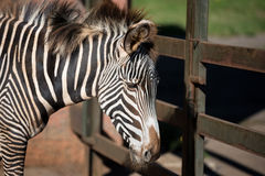 Close up view of a Zebra. Royalty Free Stock Photo
