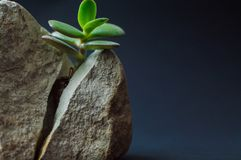 Close-up viewof the gray rock split in two parts by the small green succulent plant. Motivational concept of stamina, strength, ho Royalty Free Stock Image