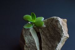 Close-up viewof the gray rock split in two parts by the small green succulent plant. Motivational concept of stamina, strength, ho Stock Photos